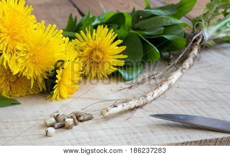 Dandelion Root, With Dandelion Flowers And Leaves