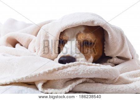 Sad Sick Dog Under A Blanket