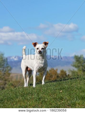 a cute chihuahua jack russel terrier mix playing outside during summer time