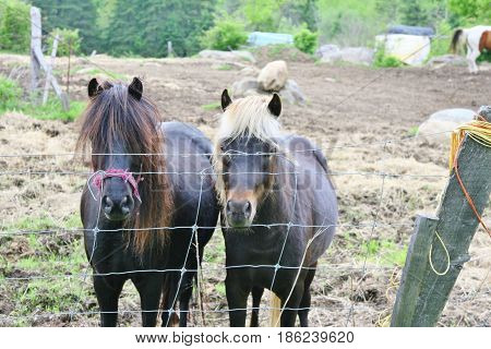 Ponies, one with white mane, and one with dark mane standing by a wire fence