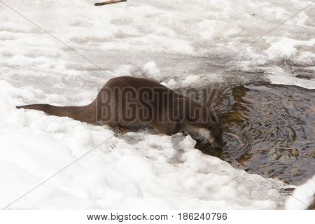 European Otter (Lutra lutra) drinking water in a Hole in the Ice