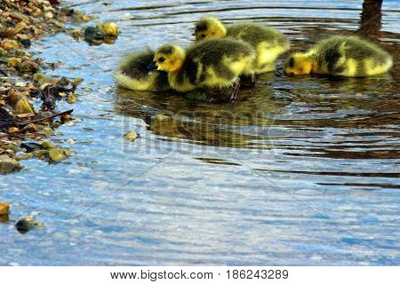 Goslings swim together at a rocky shoreline.