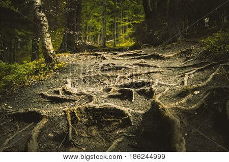 Bumpy path full of roots in mystical forest.