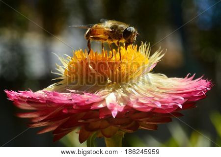 The bee pollinates the flower: the burgundy petals of the flower and the yellow middle the beaver's trunk is lowered into the flower the body and legs of the insect are stained with pollen.