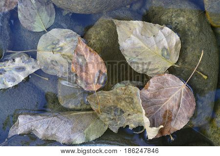 Dry bent leaves of brown pink and golden hues lie in delicate bluish water on greenish stones autumn.