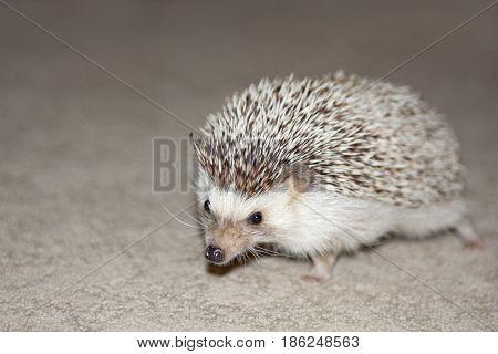 A prickly hedgehog makes an interesting pet.