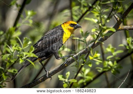 Side view of yellow headed blackbird perched on a branch in north Idaho.