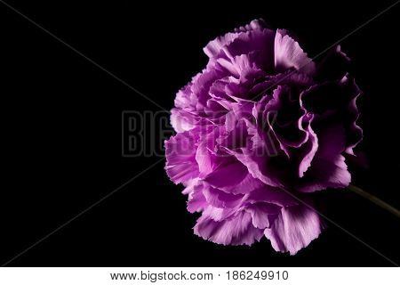 Purple Carnation flower, A simple beautiful Carnation on black background