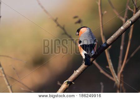 Bird, a male eurasian bullfinch on a branch enjoying sunlight!