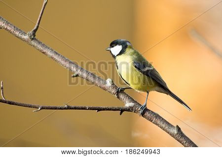 Little Bird, a female eurasian Great tit on branch