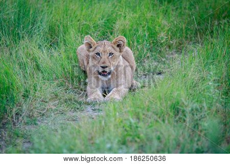 Lion Cub Laying In The Grass.