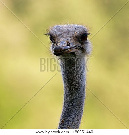 Close up of an ostrich face with bits of food stuck around its face and bulging eyes. With space for text.