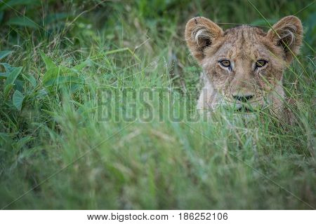 Young Lion Starring At The Camera.