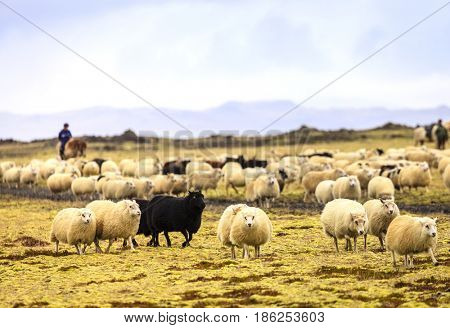 Farmers are herding sheep at the end of summer in Southern Iceland