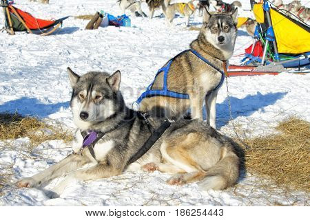 Two dogs husky in the snow, one is sitting, the other is standing, thinking about something.