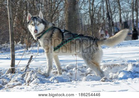 A dog in the snow is tied with a string to a tree, turning his head to look forward.