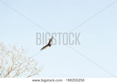 Turkey Vulture (Cathartes aura) banks over leafless tree