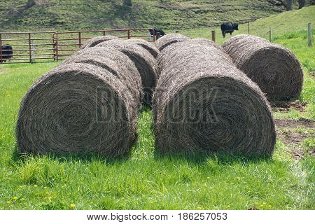 Large round bales of straw and grass fed cows