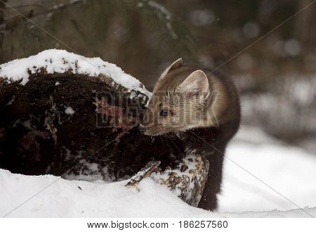 Pine Marten Looking Into Hollow Log For Hiding Place During Winter Time