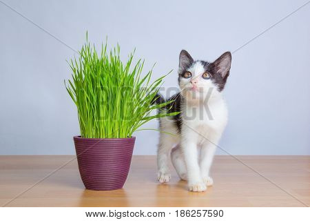 Cute baby cat play beside wheatgrass oor cat grass