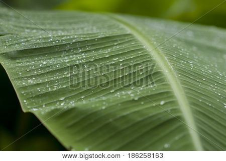 Banana leaf with rain drops After the rain stopped falling
