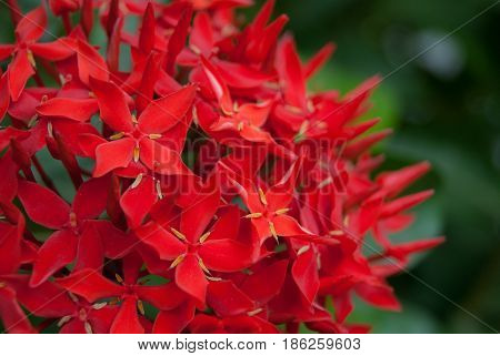 Spike flower, Rubiaceae flower, Ixora coccinea. Close up group of red flower spike and green leaves for hedge plant in the garden