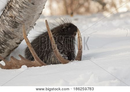 Porcupine On Snow With Moose Antler And Birch Tree In Winter