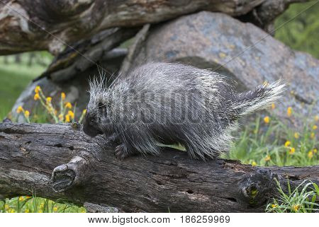 Porcupine On Dead Log With Yellow Flowers And Grass In Spring