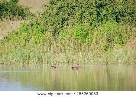 Family Of White-faced Whistling Ducks.