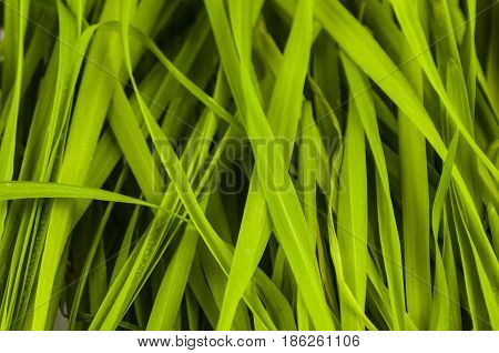 background from green color of blades of oblong shape
