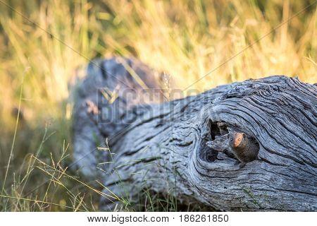 Dwarf Mongoose Hiding In A Fallen Tree.