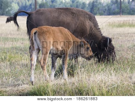 Young Bison Calf Standing In Field With Cow Bison That Is Upset With Tail Raised