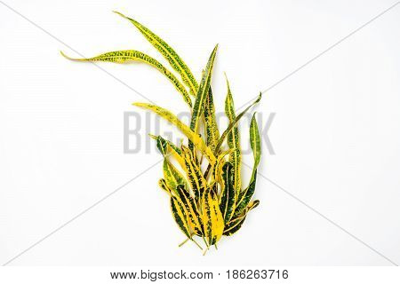 Frame With Codiaeum Variegatum (l.) Blume Isolated On White Background. Flat Lay, Overhead View