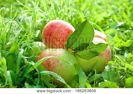 Fruit ripe red juicy apples lie on a green grass. a harvest of apples in an autumn orchard