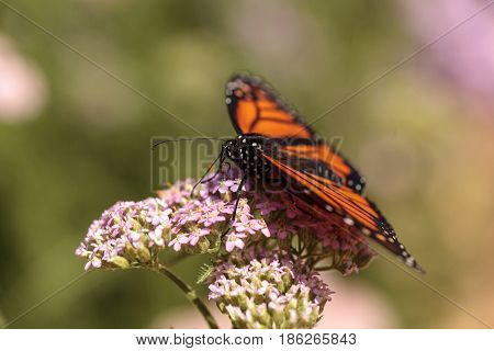Monarch Butterfly, Danaus Plexippus, In A Butterfly Garden On A Flower