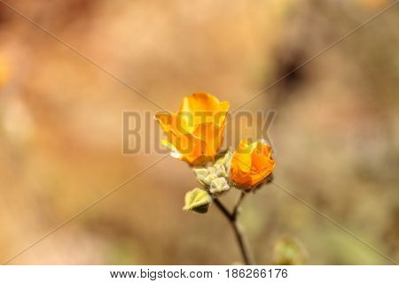 Yellow Flower On Palmer's Indian Mallow, Abutilon Palmeri