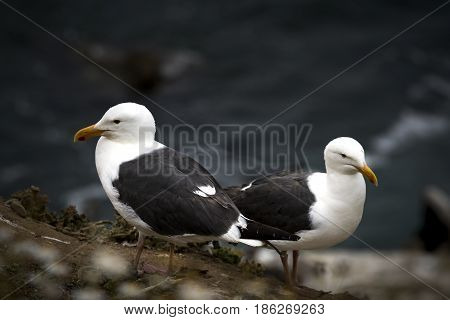 Two Western Gulls, Larus occidentalis, Sea Gulls in La Jolla, California, USA. Closeup and a shallow depth of field with the ocean in the background.