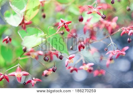 Small pink-burgundy flowers on a gray-green background