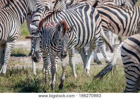 Baby Zebra In Between Other Zebras.