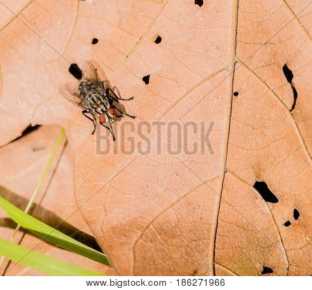 Closeup of common house fly on a brown leaf with with holes in it.