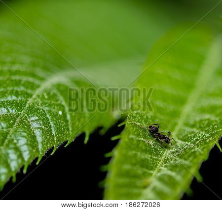 Closeup of tiny black ant on a green leaf with blurred background taken at night.