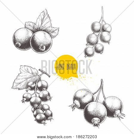 Hand drawn black currant sketch set. Black currants bunch with leaves. Forest berries illustrations. Isolated on white background.