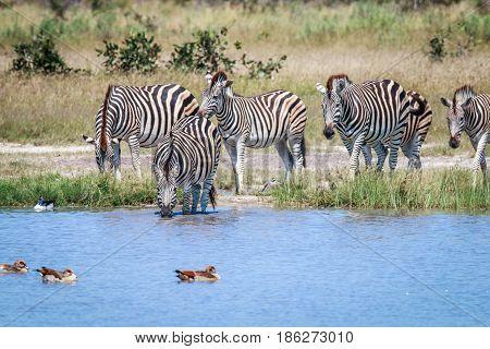 Group Of Zebras Drinking In Chobe.