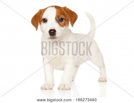 Jack Russell Terrier In Stand
