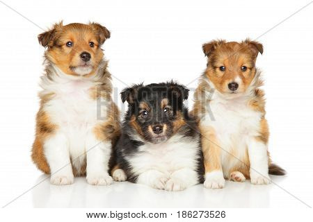 Shetland Sheepdog Puppies On White