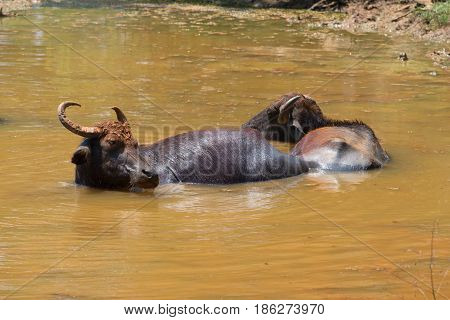 A pair of wild Asian buffaloes lie in a pond on a hot midday. Sri Lanka