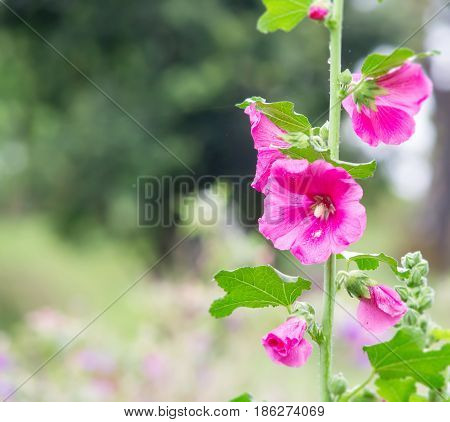 A pink holly hock flower in the garden with copy space for wording on left