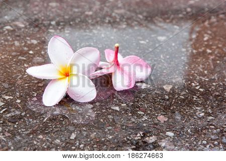 Plumeria or the plumeria tree frangipani tropical flowers on a wet area. white and pink color.
