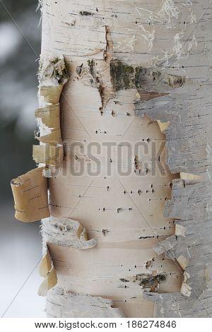Birch tree bark with gray background, peeling