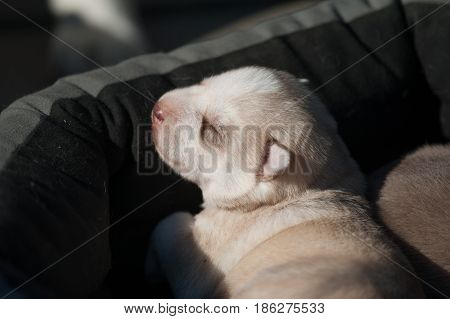 cute baby husky chilling under the sun